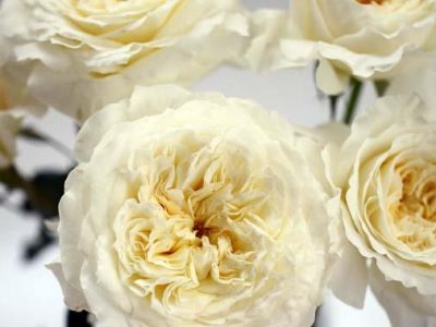tambuzi rose anthology - White Patience Garden Rose