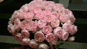 Princess Charlene of Monaco rose, garden scented rose, breeder Meilland, pink colour