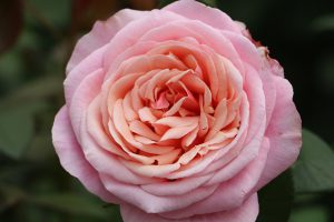 Paco Rabanne rose, garden scented rose, breeder Nirp, pink colour.